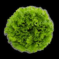 lechuga-francesa-hidroponica
