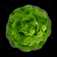 lechuga-manteca-hidroponica