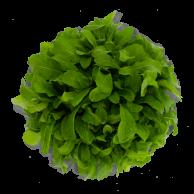 rucula-hidroponica
